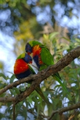 rainbow-lorikeet-picture;rainbow-lorikeet;trichoglossus-haematodus;parrot;lorikeet;australian-lorikeet;australian-parrot;rainbow-colored-bird;rainbow-coloured-bird;lane-cove-national-park;australian-national-park;sydney;new-south-wales;new-south-wales-national-park;australian-bird;steven-david-miller;natural-wanders