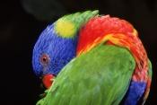 AUSTRALIA;BIRDS;COLOURFUL;LORIKEETS;PARROTS;VERTEBRATES;rainbow-lorikeet;trichoglossus-haematodus
