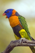 red-collared-lorikeet-picture;red-collared-lorikeet;red-collared-lorikeet;Trichoglossus-rubritorquis;lorikeet;australian-lorikeet;rainbow-colored-bird;rainbow-coloured-bird;litchfield-national-park;australian-national-park;northern-territory-national-park;northern-territory;steven-david-miller;natural-wanders