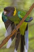australian-ringneck-parrot-picture;australian-ringneck-parrot;twenty-eight-parrot;australian-parrot;parrot;barnardius-zonarius;barnardius-zonarius-semitorquatus;gloucester-national-park;australian-national-park;western-australia-national-park;steven-david-miller;natural-wanders;green-parrot