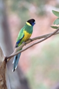 australian-ringneck-parrot-picture;australian-ringneck-parrot;port-lincoln-parrot-picture;port-lincoln-parrot;barnardius-zonarius;barnardius-zonarius-zonarius;parrot;ringneck-parrot;ring-neck-parrot;australian-parrot;alice-springs;steven-david-miller;natural-wanders
