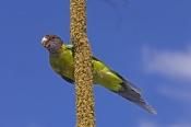 australian-ringneck-parrot-picture;australian-ringneck-parrot;twenty-eight-parrot;twenty-eight-parro