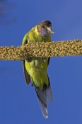 australian-ringneck-parrot-picture;australian-ringneck-parrot;twenty-eight-parrot;twenty-eight-parrot;australian-parrot;parrot;green-parrot;barnardius-zonarius-semitorquatus;barnardius-zonarius-rockingham;western-australia;bird-feeding-on-grasstree;parrot-feeding;steven-david-miller;natural-wanders