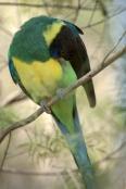 australian-ringneck-parrot;twenty-eight-parrot;port-lincoln-parrot;mallee-ringneck-parrot;barnardius-zonarius;alice-springs-desert-park;bird-preening