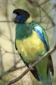australian-ringneck-parrot;twenty-eight-parrot;port-lincoln-parrot;mallee-ringneck-parrot;barnardius-zonarius;alice-springs-desert-park