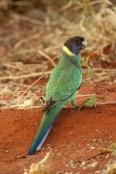 Race Zonarius 'Port Lincoln Parrot'