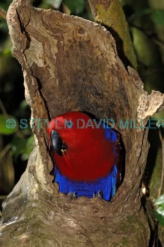 eclectus parrot picture;eclectus parrot;male eclectus parrot;eclectus roratus;australian parrot;cape york parrot;bird perched on branch;green;green parrot;australian parrot;bird world;birdworld;kuranda;far north queensland;steven david miller;natural wanders;nesting hollow;nesting parrot