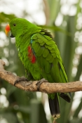 eclectus-parrot-picture;male-eclectus-parrot;eclectus-roratus;australian-parrot;cape-york-parrot;bird-perched-on-branch;bird-portrait;parrot-portrait;vertical-parrot-picture;parrot-picture-with-green-backround;bird-picture;green;green-parrot;steven-david-miller;natural-wanders