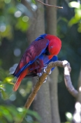 eclecturs-parrot-picture;eclectus-parrot;female-eclectus-parrot;eclectus-roratus;red-and-blue-parrot;parrot;australian-parrot;parrot-preening;bird-preening;adelaide-zoo;steven-david-miller;natural-wanders
