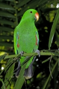 eclecturs-parrot-picture;eclectus-parrot;parrot;australian-parrot;eclectus-roratus;female-eclectus-parrot;green-parrot;north-queensland-parrot;the-australia-zoo;beerwah;steven-david-miller;natural-wanders