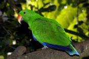 eclecturs-parrot-picture;eclectus-parrot;parrot;australian-parrot;eclectus-roratus;male-eclectus-parrot;green-parrot;north-queensland-parrot;the-australia-zoo;beerwah;steven-david-miller;natural-wanders