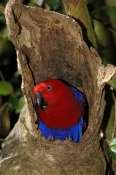 eclectus-parrot-picture;eclectus-parrot;male-eclectus-parrot;eclectus-roratus;australian-parrot;cape-york-parrot;bird-perched-on-branch;green;green-parrot;australian-parrot;bird-world;birdworld;kuranda;far-north-queensland;steven-david-miller;natural-wanders;nesting-hollow;nesting-parrot