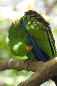 eclecturs-parrot-picture;eclectus-parrot;male-eclectus-parrot;eclectus-roratus;red-and-blue-parrot;parrot;australian-parrot;wildlife-habitat;rainforest-habitat;steven-david-miller;natural-wanders;nesting-hollow;parrot-in-nesting-hollow;bird-in-nesting-hollow