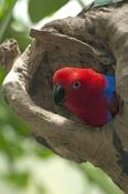 eclecturs-parrot-picture;eclectus-parrot;female-eclectus-parrot;eclectus-roratus;red-and-blue-parrot;parrot;australian-parrot;wildlife-habitat;rainforest-habitat;steven-david-miller;natural-wanders;nesting-hollow;parrot-in-nesting-hollow;bird-in-nesting-hollow
