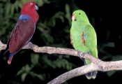 BIRDS;COLOURFUL;ENDANGERED;PARROTS;PORTRAITS;VERTEBRATES;WOODLANDS;eclectus-parrot;eclectus-roratus;the-wildlife-habitat