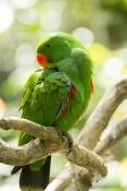 eclecturs-parrot-picture;parrot-preening;eclectus-parrot-preening;eclectus-parrot;male-eclectus-parrot;eclectus-roratus;red-and-green-parrot;australian-parrot;wildlife-habitat;rainforest-habitat;steven-david-miller;natural-wanders