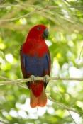 eclecturs-parrot-picture;eclectus-parrot;female-eclectus-parrot;eclectus-roratus;red-and-blue-parrot;parrot;australian-parrot;wildlife-habitat;rainforest-habitat;steven-david-miller;natural-wanders