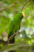 eclecturs-parrot-picture;eclectus-parrot;male-eclectus-parrot;eclectus-roratus;red-and-green-parrot;australian-parrot;wildlife-habitat;rainforest-habitat;steven-david-miller;natural-wanders