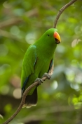 eclecturs-parrot-picture;eclectus-parrot;male-eclectus-parrot;eclectus-roratus;green-parrot;parrot;australian-parrot;wildlife-habitat;rainforest-habitat;steven-david-miller;natural-wanders