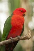 australian-king-parrot-picture;australian-king-parrot;australian-king-parrot;king-parrot-picture;mal