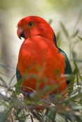 australian-king-parrot-picture;australian-king-parrot;australian-king-parrot;male-australian-king-parrot;australian-king-parrot-portrait;australian-king-parrot-in-tree;alisterus-scapularis;red-parrot;red-and-green-parrot;healesville;victoria;steven-david-miller;natural-wanders