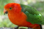 red-and-green-parrot