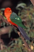 australian-king-parrot-picture;australian-king-parrot;australian-king-parrot;male-australian-king-parrot;australian-king-parrot-portrait;australian-king-parrot-in-tree;alisterus-scapularis;red-parrot;red-and-green-parrot;lamington-national-park;queensland;steven-david-miller;natural-wanders
