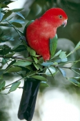 AUSTRALIA;BIRDS;MALES;PARROTS;PORTRAITS;VERTEBRATES;king-parrot;alisterus-scapularis;lamington-national-park