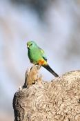 mulga-parrot-picture;mulga-parrot;psephotus-varius;green-parrot;blue-green-parrot;parrot-on-tree-stump;australian-parrot;parrot;muloorina-station;oodnadatta-track;south-australia;steven-david-miller;natural-wanders