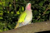 princess-parrot-picture;alexandras-parrot-picture;princess-parrot;alexandras-parrot;alexandras-parrot;polytelis-alexandrae;pastel-colors;pastel-colours;parrot;australian-parrot;australia-zoo;steven-david-miller;natural-wanders