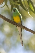red-rumped-parrt-picture;red-rumped-parrot;red-rumped-parrot;psephotus-haematonotus;male-red-rumped-