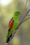 red-winged-parrot-picture;red-winged-parrot;red-winged-parrot-picture;red-winged-parrot;aprosmictus-erythropterus;parrot;australian-parrot;undara-national-park;australian-national-parks;queensland-national-park;steven-david-miller;natural-wanders