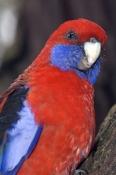 crimson-rosella-picture;crimson-rosella;platycercus-elegans;rosella;red-rosella;parrot;australian-parrot;australian-rosella;grampians-national-park;australian-national-parks;victoria-national-park;steven-david-miller;natural-wanders