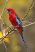 crimson-rosella-picture;crimson-rosella;red-rosella;rosella;platycercus-elegans;wild-rosella;australian-rosella;red-parrot;australian-parrot;vertical-crimson-rosella-picture;rosella-in-tree;grampians-national-park;victoria;australia;australian-bird;red-bird;steven-david-miller;natural-wanders