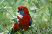AUSTRALIA;BIRDS;PARROTS;PORTRAITS;VERTEBRATES;crimson-rosella;australian-parrot;red-parrot;rosella;platycercus-eleganus