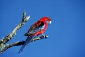 AUSTRALIA;BIRDS;PARROTS;PORTRAITS;VERTEBRATES;crimson-rosella;platycercus-eleganus