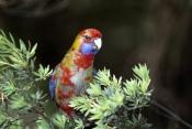 AUSTRALIA;BIRDS;PARROTS;PORTRAITS;VERTEBRATES