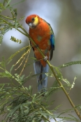 western-rosella-picture;western-rosella;platycercus-icterotis;rosella;australian-rosella;australian-