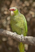 lilac-crowned-parrot;lilac-crowned-parrot;lilac-crown-parrot;finschis-amazon;finschis-amazon;amazona-finschi;arizona-sonora-desert-museum;tucson-desert-museum;mexican-parrot;sonora-desert-parrot;desert-parrot