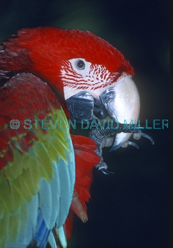 green-winged macaw picture;green-winged macaw;green winged macaw;ara chloropterared and green macaw;captive macaw;pet macaw;central american macaw;colorful macaw;colourful macaw;macaw beak;steven david miller;natural wanders