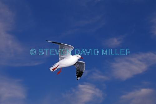 silver gull picture;silver gull;red-bellied gull;red bellied gull;new zealand gull;gull;larus novaehollandiae;australian gull;marlborough sound;bird in flight;gull in flight;seagull in flight;birds of new zealand;steven david miller;natural wanders