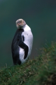 yellow-eyed-penguin-picture;yellow-eyed-penguin;yellow-eyed-penguin;penguin;megadyptes-antipodes;new