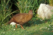 weka-picture;weka;gallirallus-australis;new-zealand-bird;new-zealand-native-hen;new-zealand-gallinule;cape-foulwind;birds-of-new-zealand;steven-david-miller;natural-wanders