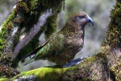 kea-parrot-picture;kea-parrot;alpine-parrot;new-zealand-parrot;nestor-notabilis;southern-alps;fiordland-national-park;south-island-of-new-zealand;new-zealand-national-park;national-parks-of-new-zealand;parrots-of-new-zealand;threatened-species;steven-david-miller