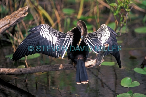 anhinga picture;american anhinga;anhinga;male american anhinga;male anhinga;anhinga drying wings;anhinga preening;royal palm;everglades national park;florida;steven david miller;natural wanders