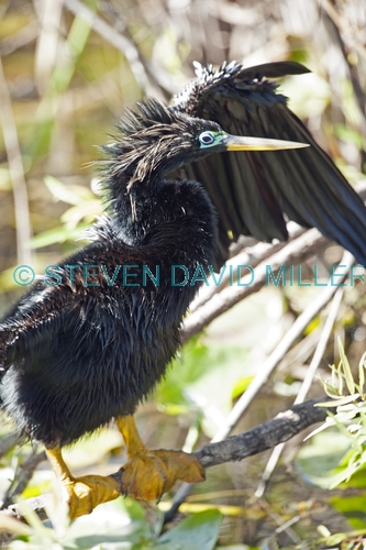 anhinga picture;anhinga;anhinga anhinga;male anhinga;anhinga drying wings;anhinga preening;royal palm;everglades national park;florida;snake bird;darter;american darter