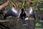 anhinga-picture;american-anhinga;anhinga;male-american-anhinga;male-anhinga;anhinga-drying-wings;anhinga-preening;royal-palm;everglades-national-park;florida;steven-david-miller;natural-wanders