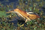 least-bittern-picture;least-bittern;bittern;heron;bittern-foraging;bittern-in-water;everyglades-national-park;royal-palm;south-florida;american-national-parks;steven-david-miller;natural-wanders