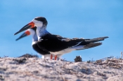 black-skimmer-picture;black-skimmer;skimmer;rynchops-niger;sombrero-beach;marathon;florida-keys;southwest-florida;birds-of-southwest-florida;florida-birds;steven-david-miller;natural-wanders