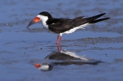 black-skimmer-picture;black-skimmer;skimmer-rynchops-niger;ding-darling-national-wildlife-refuge;national-wildlife-refuges;sanibel-island;southwest-florida;birds-of-southwest-florida;florida-birds;steven-david-miller;natural-wanders